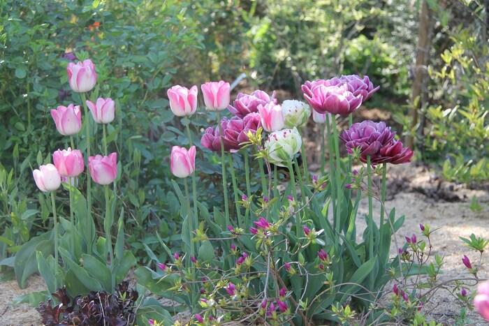 Tulipe Danceline