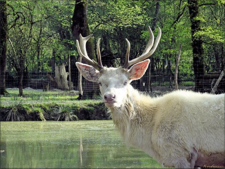 Photos de Cerf blanc (Moulin de Poyaller-Landes)