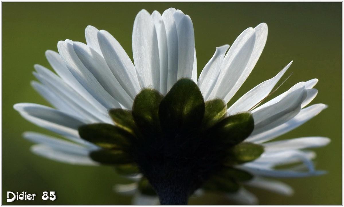 Pâquerette (1) - Bellis perennis