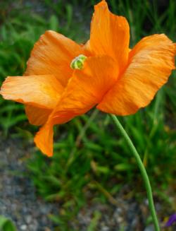 Tube fleur, tube coquelicot