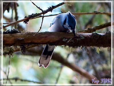 Geai bleu, Blue jay (Cyanocitta cristata) - Lac Venne - Duhamel - Outaouais - Québec - Canada