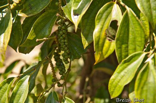 poivre vert kampot