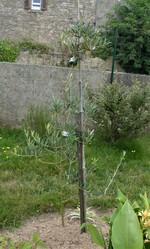 l'olivier n°2