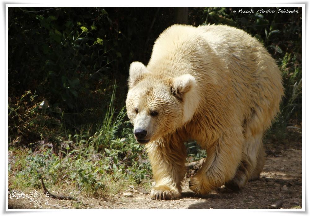 Ours Brun de Syrie - - Ursus arctos syriacus