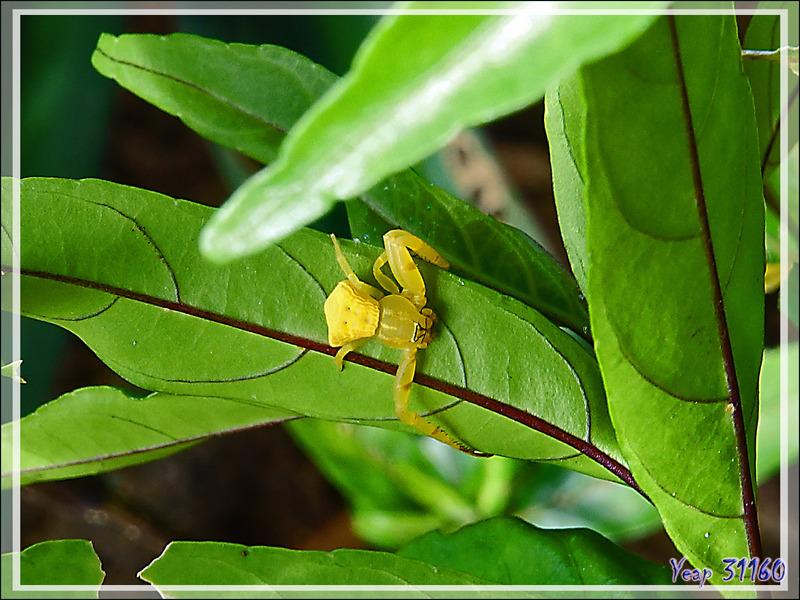 Araignée-crabe Thomise : la même qu'à la maison ! - Nosy Be - Madagascar