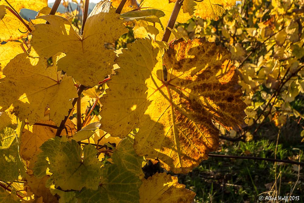 Vignoble d'or - 2 -