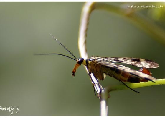 Panorpes ou mouche scorpion - Panorpa cognata ♂