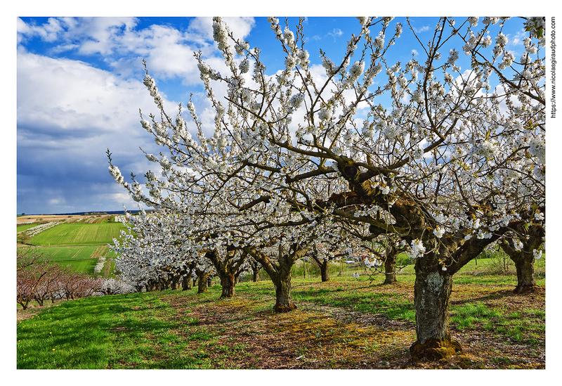 Auxerrois, entre vigne, cerisiers et villages authentiques