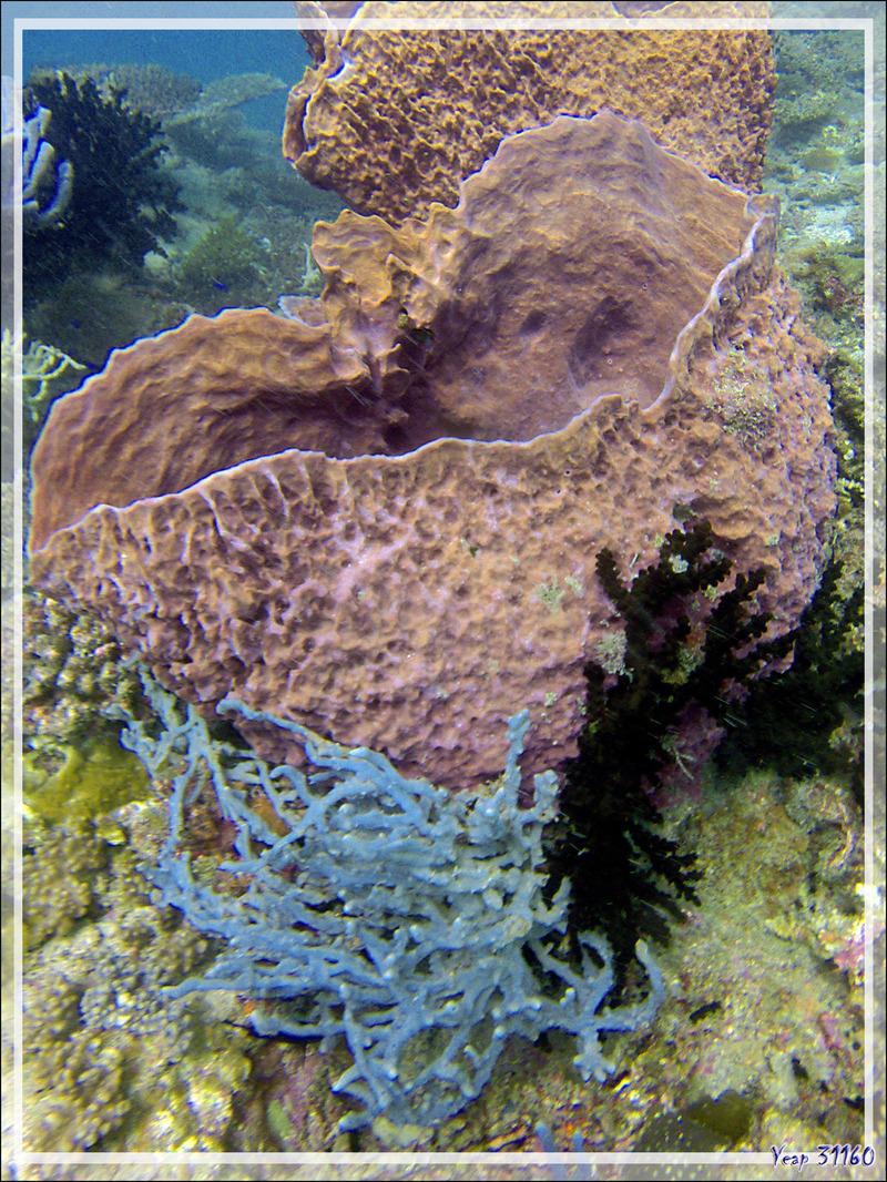 Eponge-baril (Xestospongia testudinaria) - Nosy Mitsio - Madagascar