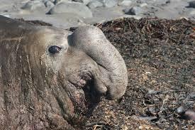 """Résultat de recherche d'images pour """"éléphants de mer"""""""