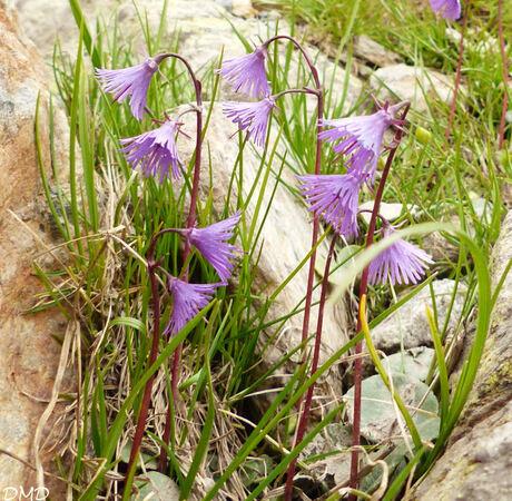 Soldanella alpina  -  soldanelle des Alpes
