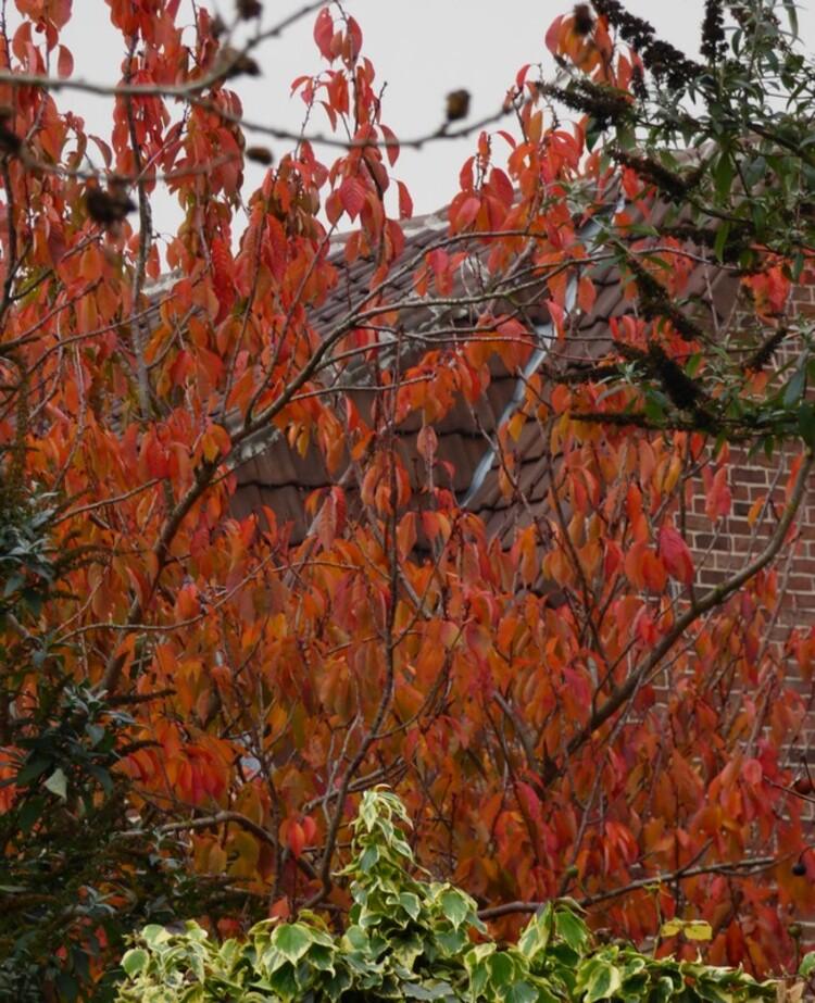 cerisier chez le voisin  ( novembre 2017 )
