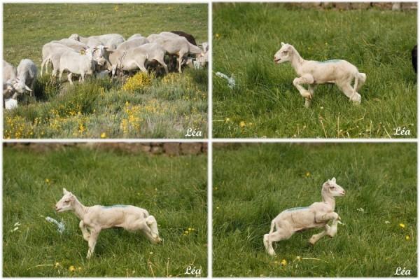 Brebis-agneau.jpg