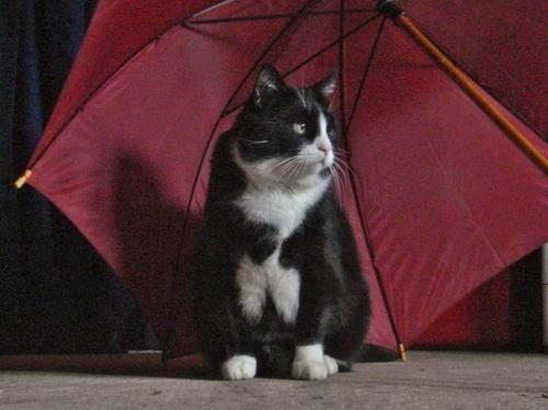 24 - Les chats, le  parapluie, la pluie ou le parasol...