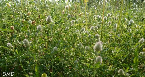 Trifolium arvense  -  trèfle des champs