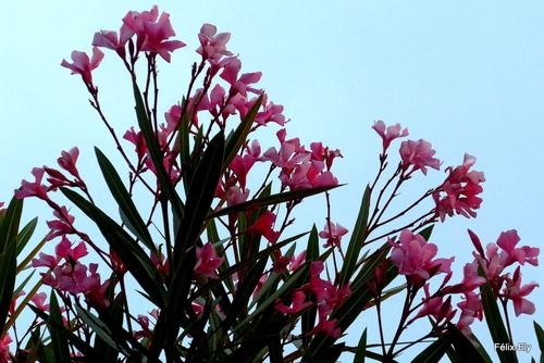 Fleurs simples ou doubles