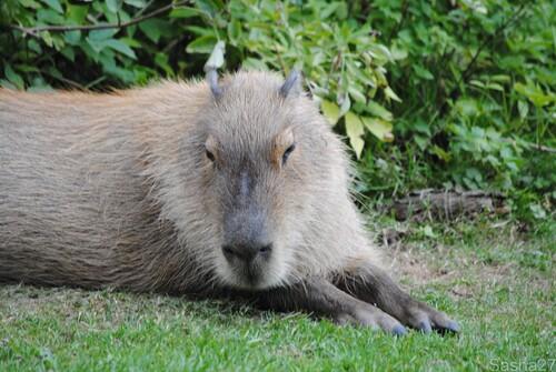 (1) Le capybara.