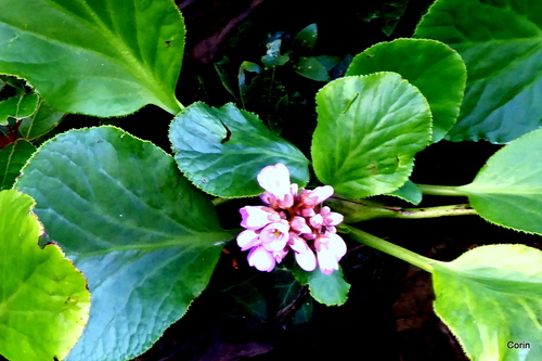 Les fleurs du bergénia