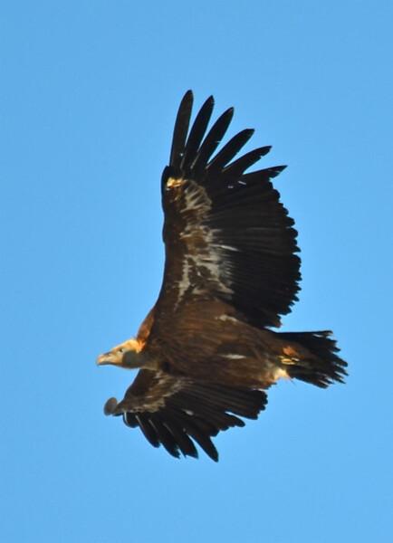 vautour2