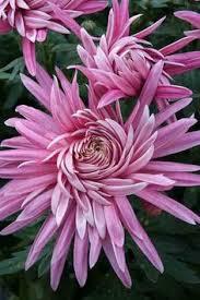 """Résultat de recherche d'images pour """"gifs de chrysanthèmes nouveaux"""""""