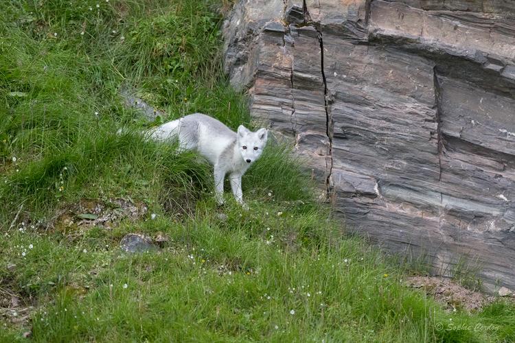 Allez encore quelques renards