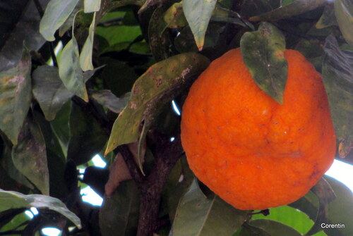 Bigaradier : oranges amères !
