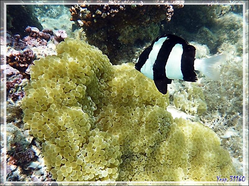 Demoiselle à trois bandes noires, Whitetail dascyllus or Humbug damsel(Dascyllus aruanus) - Moorea - Polynésie française