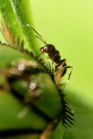 Les fourmis et la centaurée