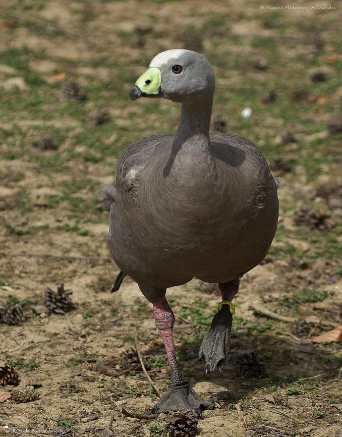 Céréopse cendré - Cereopsis novaehollandiae -  - Cape Barren Goose