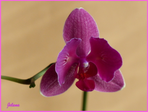 orchidée rose