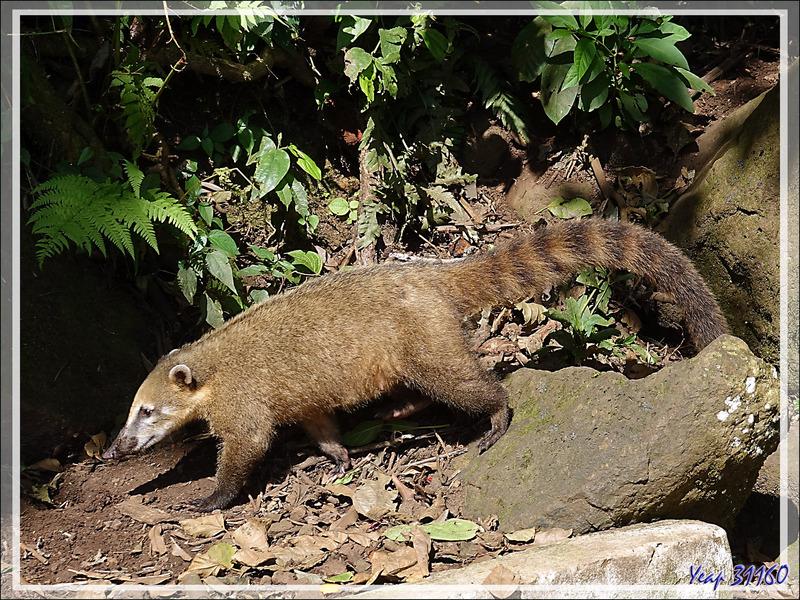 Des Coatis roux (Nasua nasua), animaux très opportunistes, se promenaient le long ou même sur les passerelles - Foz do Iguaçu - Brésil