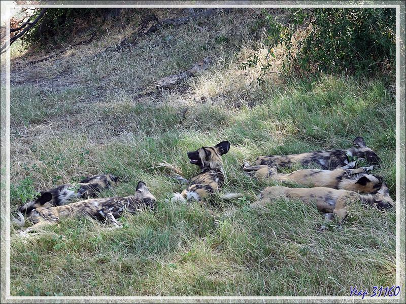 Lycaon, Chien sauvage d'Afrique, African wild dog (Lycaon pictus) - Safari terrestre - Parc National de Chobe - Botswana