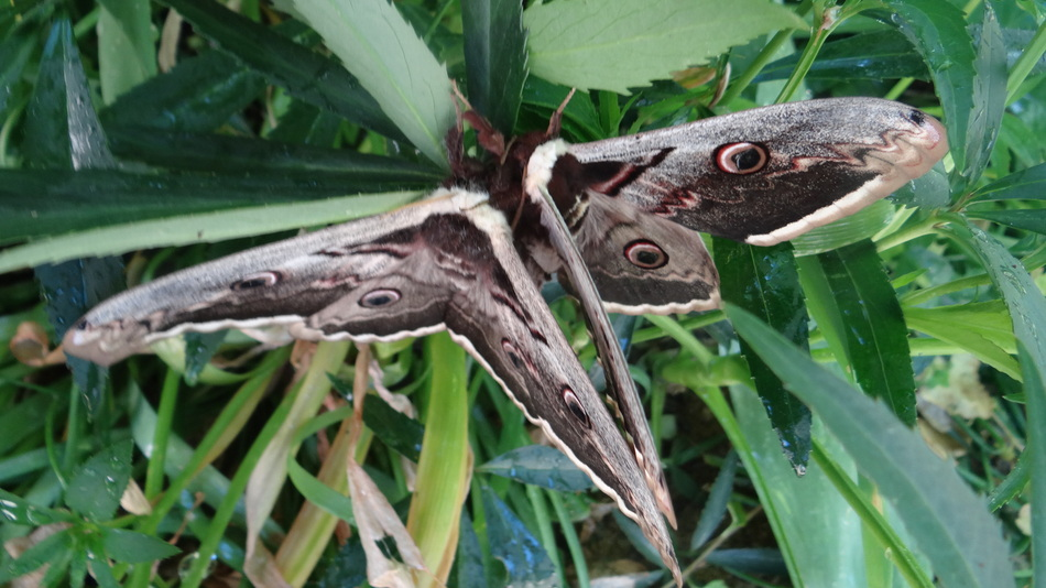 Une Rencontre dans Notre Jardin.. Saturnia Pyri (papillon)