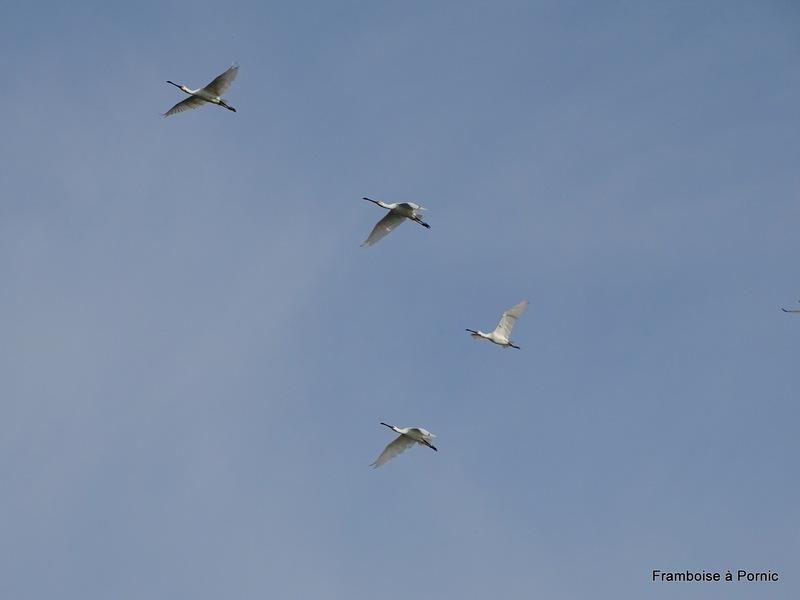 Spatules blanches en vol
