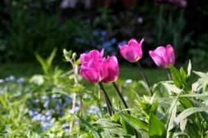 Tulipes Lavender5