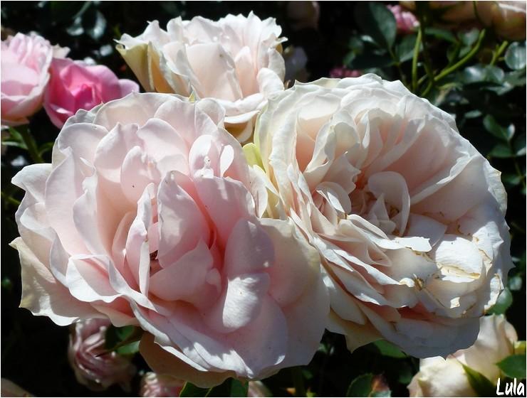 """Rosier polyantha """"Jardin des Valloires"""""""
