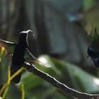 Rencontre avec un colibri falle vert - Photo : Yvon