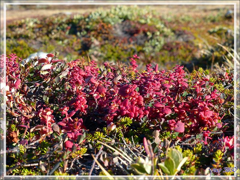 Myrtilliers avec leurs couleurs d'automne - Ilulissat - Groenland