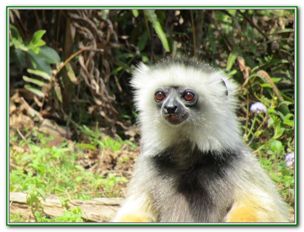 Les Lémuriens en 2016
