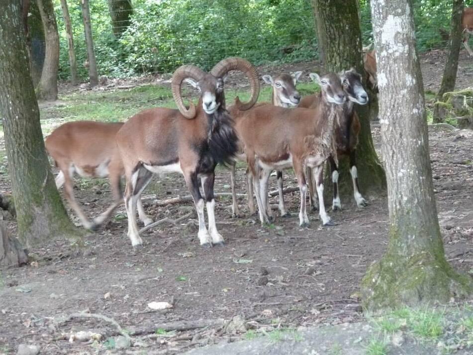 1 Mouflon pour 16 femelles, un vrai harem