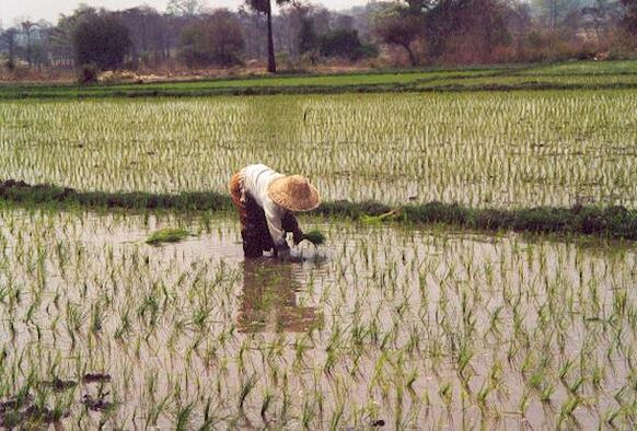le travail dans les rizières du Laos;