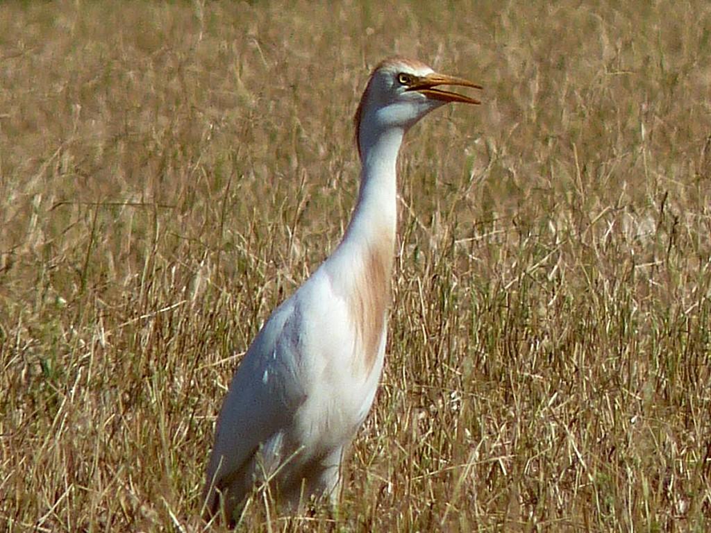 Heron-garde-boeuf.jpg