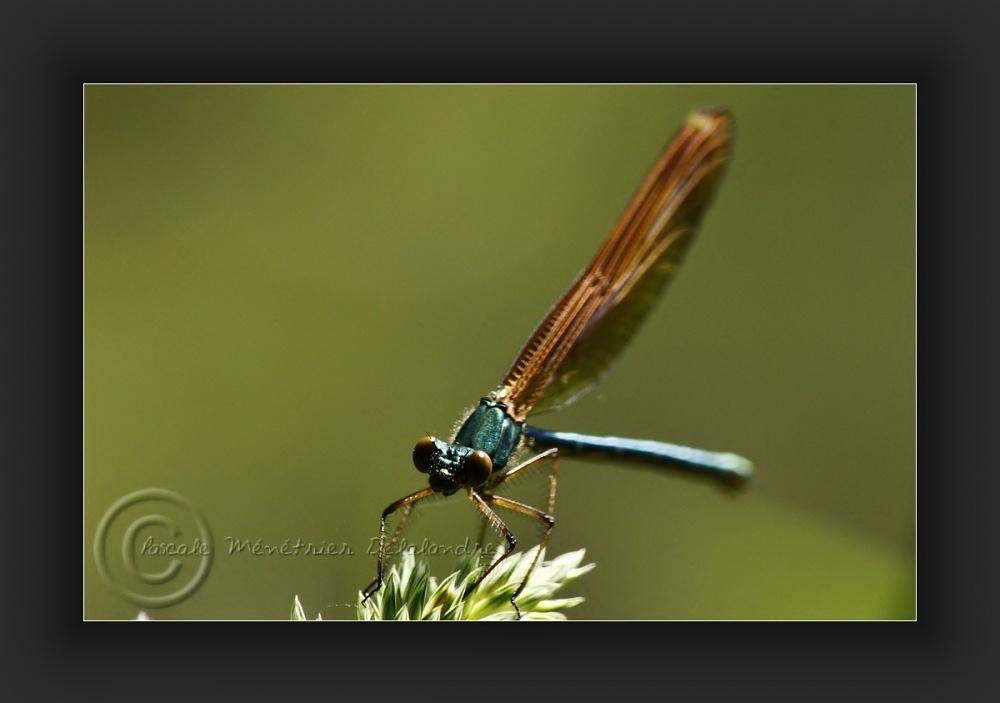 Caloptéryx virgo femelle (calopterygidae)