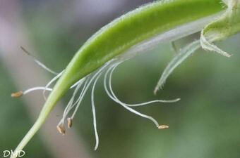 Lathyrus ochraceus  -  gesse jaune