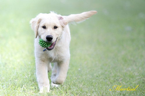 GOLDEN RETRIEWER