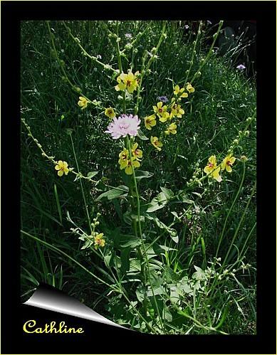 molene-noire--plante--feuilles-et-fleurs.jpg