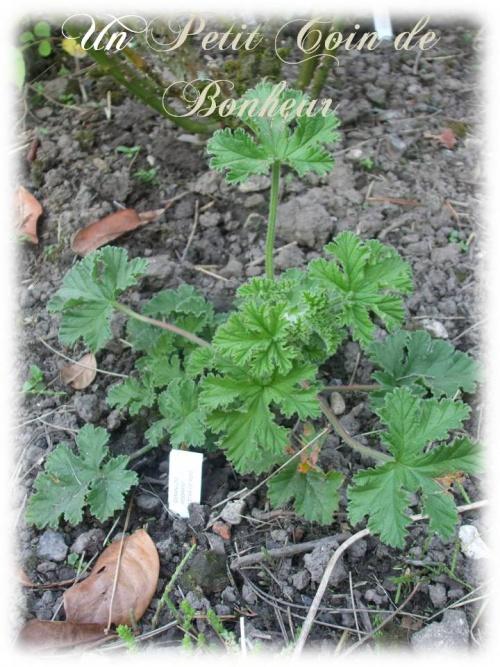 geranium vivace agrume