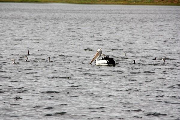 animaux pélicans bébé Mount Isa 001 lac Moondarra 0 (104