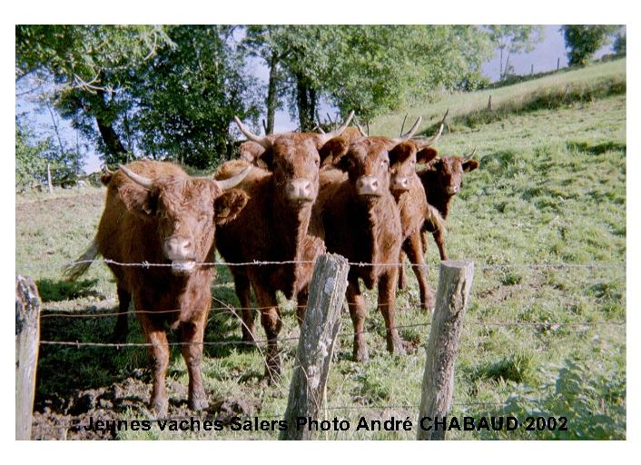 """Jeunes vaches """"salers"""""""