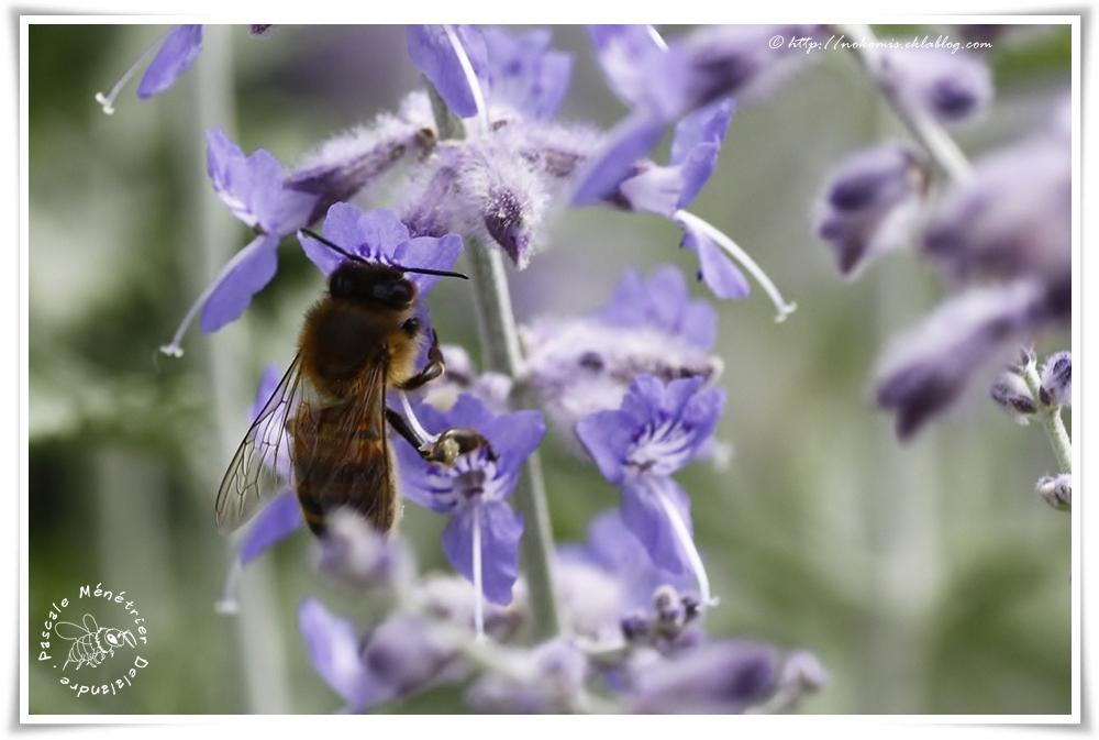 Apis mellifera ♀ - Abeille mellifère